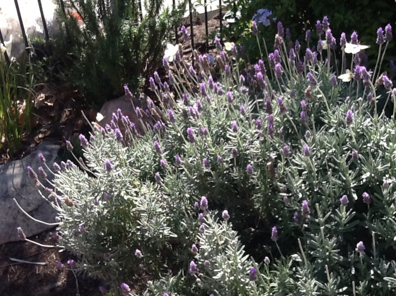 Lavender in bloom with butterflies