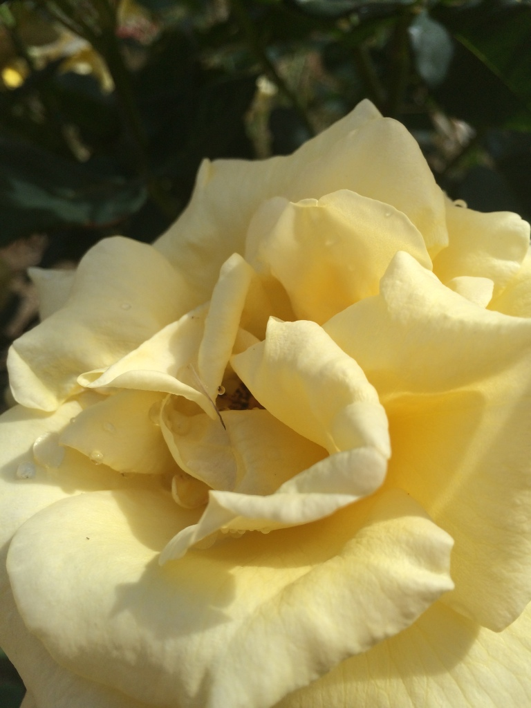 Fully blown yellow rose