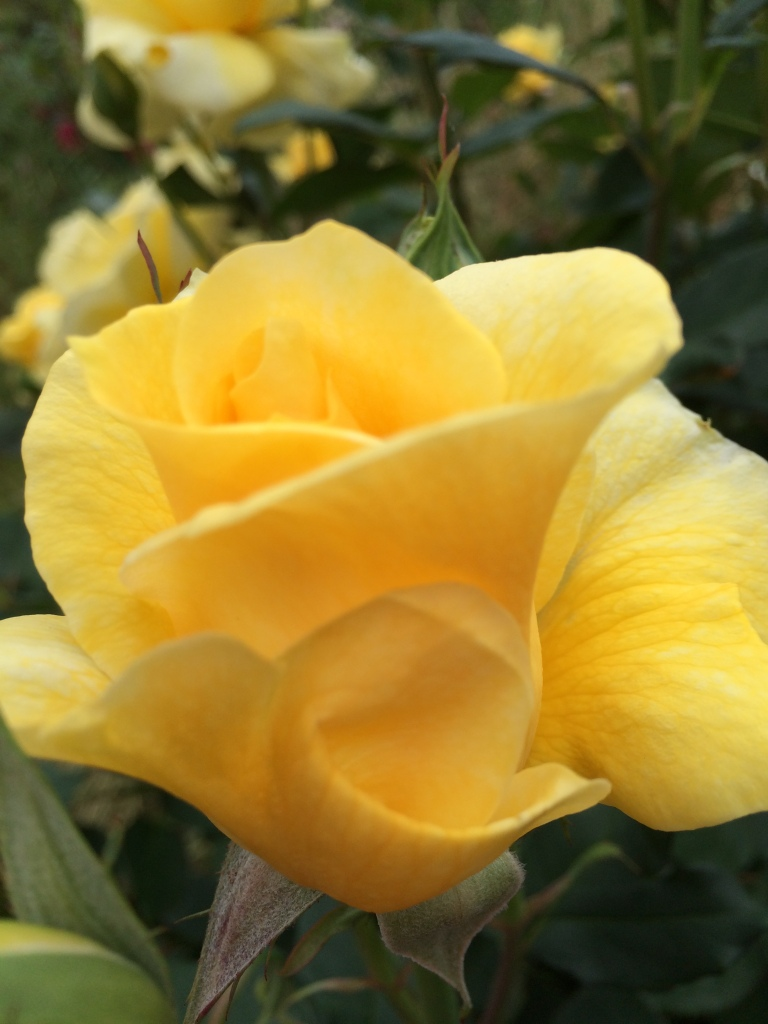 Yellow rose in mid-bloom