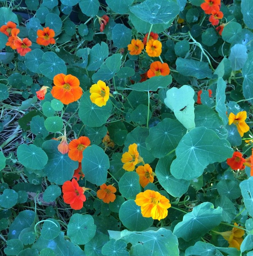 Yellow, orange and red nasturtiums